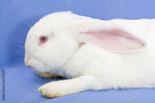 One rabbit on a blue background