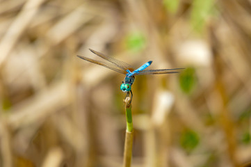 Green Darner Dragonfly Perched On A Twig
