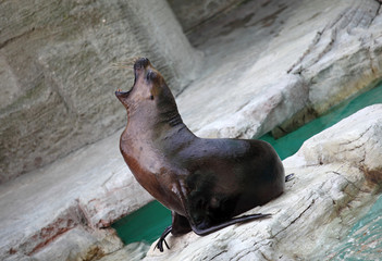 Seal with open mouth  at the zoo,Vienna