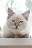 kitten on window sill poster