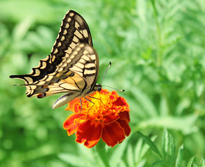 butterfly (Papilio Machaon) sitting on flower (marigold)