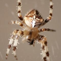 araignée croix