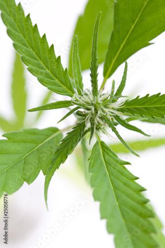 hanf cannabis sativa junge bl te von oben stockfotos und lizenzfreie bilder auf fotolia. Black Bedroom Furniture Sets. Home Design Ideas