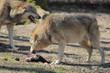 Fototapeta Canis - Carnivore - Dziki Ssak
