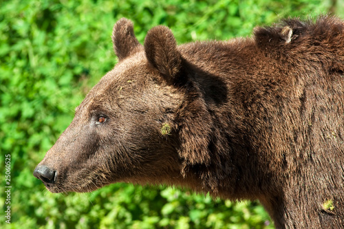 brown bear ( Ursus arctos ) portrait