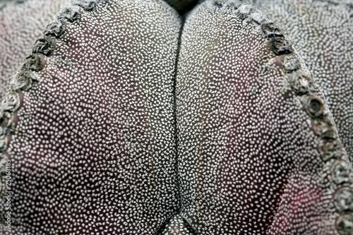 Fotobehang Cactus Kaktus Bischofsmütze