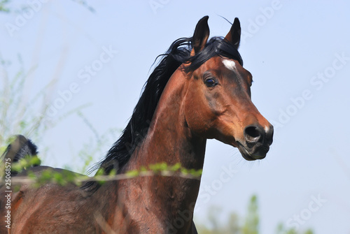portrait of beautiful brown arabian horse