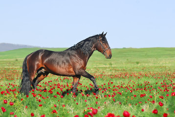 beautiful brown horse playing on pasture