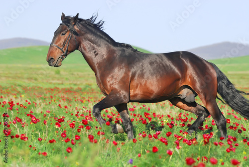 beautiful brown horse running trot on pasture