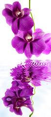 orchidée dendrobium sur fond blanc