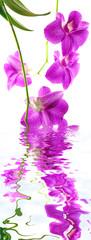 orchidée dendrobium, fond blanc