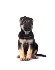 German Shepherd puppy on white