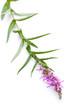 Blutweiderich (Lythrum salicaria) liegend auf weißem Hintergrund
