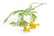 Rainfarn (Tanacetum vulgare) liegend auf weißem Hintergrund