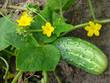 Огурец цветет и плодоносит