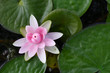 pink Lotus Flower in the pond.