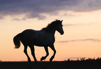 gray horse running on hill on sunset
