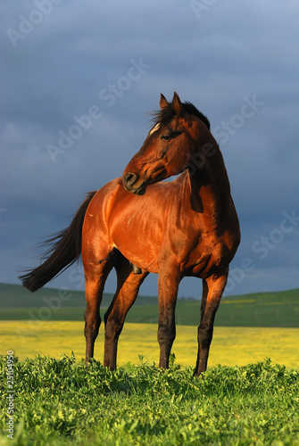 portrait of brown horse on sunset