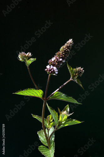Pfefferminze; Mentha x piperita; Echte Pfefferminze