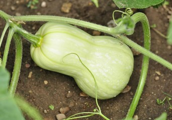 summer squash in th garden