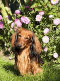 purebred dogs dachshund poster