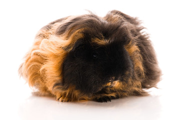 guinea pig isolated on the white background. merino