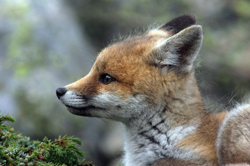 fox cub near his lair