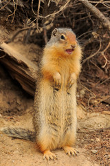 Columbian ground squirrel standing on its feet