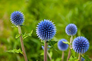 ヒゴタイの花