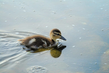 Duckling swimming in a pond