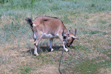 A goat female on a summer pasture.