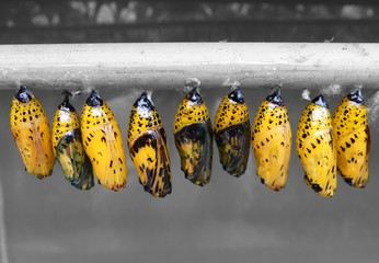 Chrysalises - Paper Kite butterfly