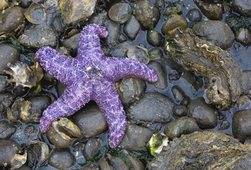 Detail Of Purple Starfish
