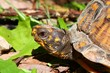 Box Turtle (Terrapene carolina) - Alabama