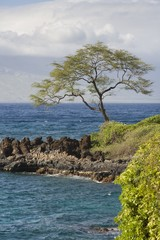 Tree On Shore; Wailea-Makena, Maui, Hawaii