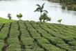 plantation de théiers, domaine de Bois Chéri, île Maurice