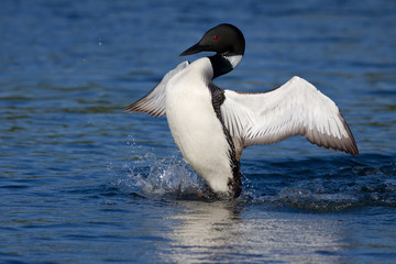 common loon flaps his wings