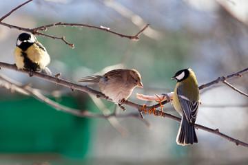 House Sparrow, Passer domesticus