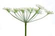 Wiesenbärenklau (Heracleum sphondylium) - Blüte seitlich