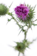 Wegdistel (Carduus acanthoides) - Nahaufnahme von Blüte