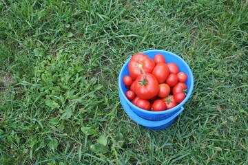 Tomato in bucket