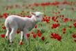 Lamb - 25162129