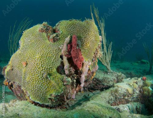 Giant Star Coral(Montastrea cavernosa) Mound