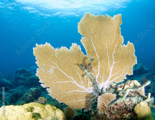 Sea Fan on a coral ledge in Broward County, Florida