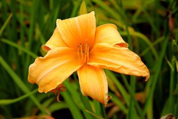 Orangefarbene Lilie