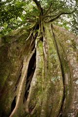Strangler Fig Tree