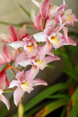 pink Orchid Flower Phalaenopsis