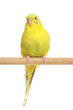 Yellow budgie on a branch