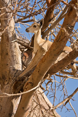 Ibex in Tree