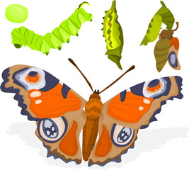 Birth of a butterfly, evolutionary phase